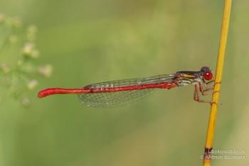 Ceriagrion tenellum – Scharlachlibelle
