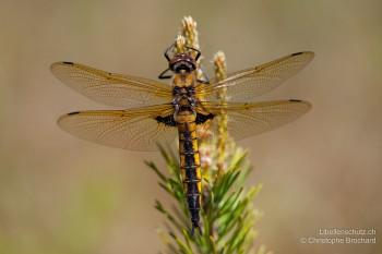 Epitheca bimaculata – Zweifleck